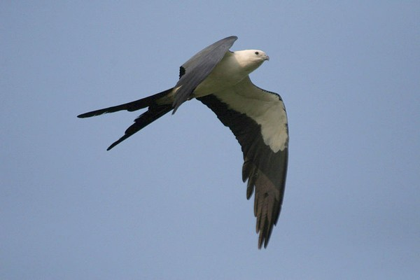 Swallow-tailed kite in flight (photo from Wikimedia Commons)
