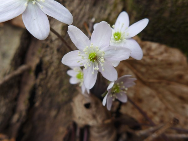 Round-lobed hepatica, 26 Mar 2017 (photo by Kate St. John)