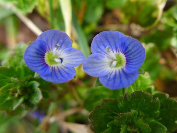 Speedwell blooming in the grass, 26 Mar 2017, Raccoon Creek State Park (photo by Kate St. John)