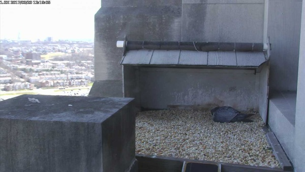GulfTower nest incubation underway, 23 Mar 2017,12:19pm (screenshot from National Aviary falconcam)