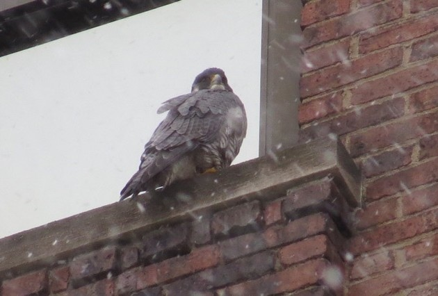 One of the Downtown peregrines perched on Third Avenue, 2 March 2017, 4:00pm (photo by Lori Maggio)