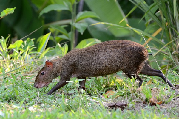 Central American agouti, walking in Gamboa, Panama (photo from Wikimedia Commons)