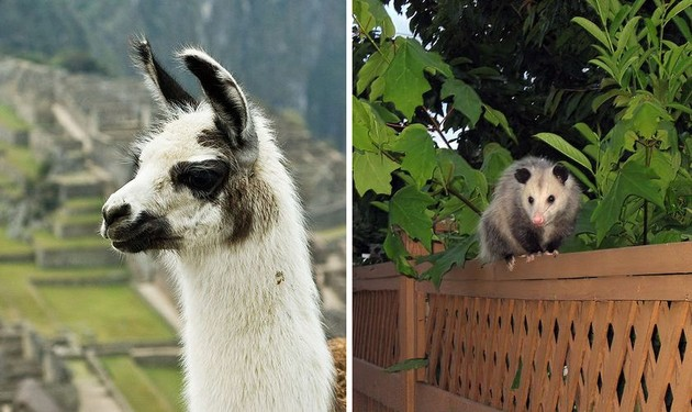 Llama on Machu Picchu, Opossum in western Canada (photos from Wikimedia Commons)