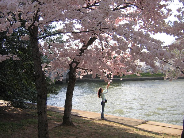 Mild weather during the Cherry Blossom Festival in D.C., 2006 (photo by Andrew Bossi via Wikimedia Commons)