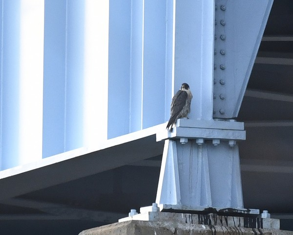 Peregrine falcon at the Graff Bridge, Kittanning, 29 Mar 2017 (photo by Anthony Bruno)