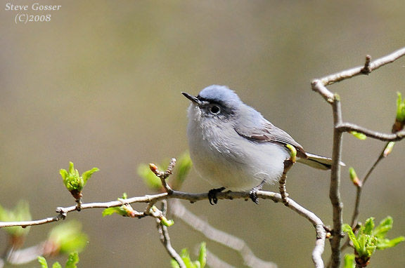 Blue-gray gnatcatcher (photo by Steve Gosser)