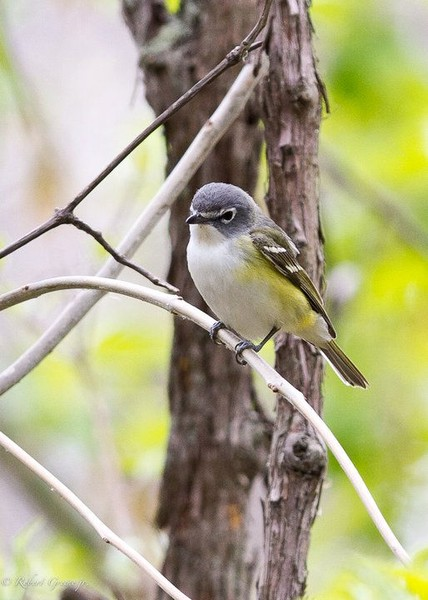Blue-headed vireo (photo by Bobby Greene)