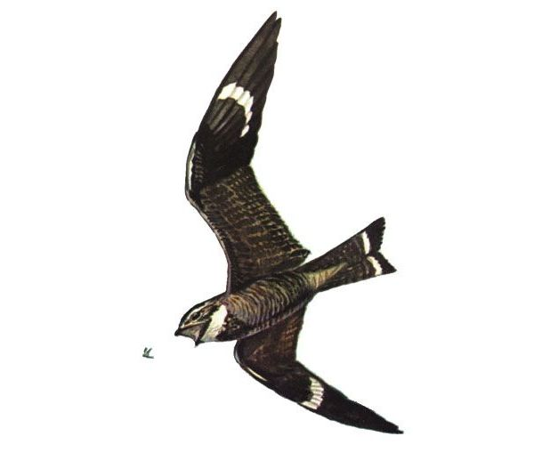 Common nighthawk chasing a flying insect (drawing by Bob Hines, USFW, via Wikimedia Commons)