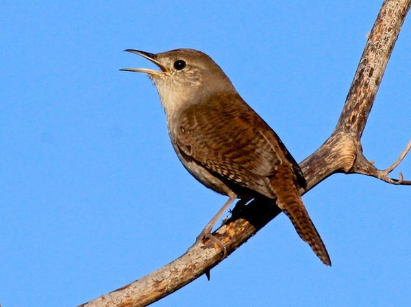 House wren (photo by Chuck Tague)