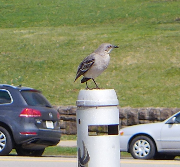 Northern mockingbird missing his tail, near Phipps Conservatory, March 2017 (photo by Kate St. John)