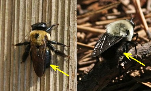 Carpenter bee vs bumblebee (photos by Chuck Tague)