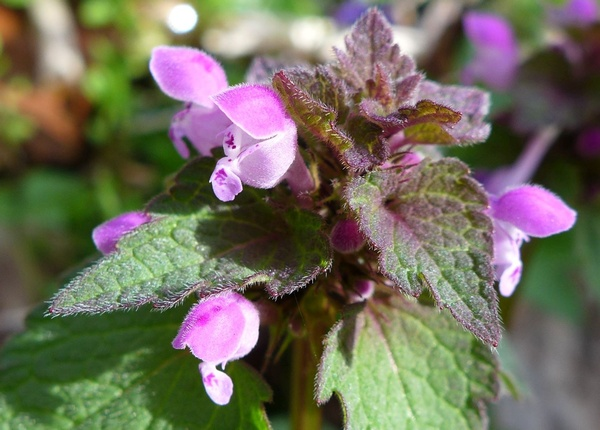 Purple dead nettle (photo by Kate St. John)