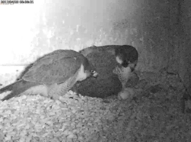 Dori and Louie look at the incomplete hatch of egg #4, 23 Apr 2017 (photo from the National Aviary falconcam at Gulf Tower)