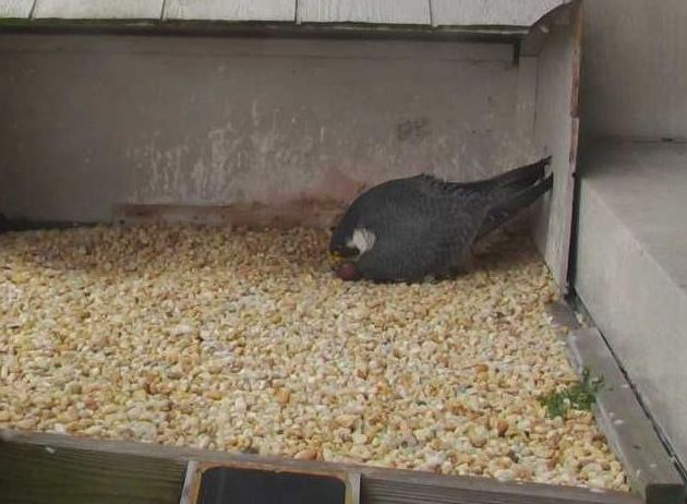 Dori rolls the eggs just before she resumes incubation (photo from the National Aviary falconcam at Gulf Tower)