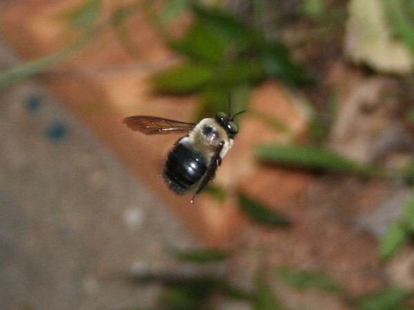 Carpenter bee in flight.Notice the shiny abdomen (photo from Wikimedia Commons)