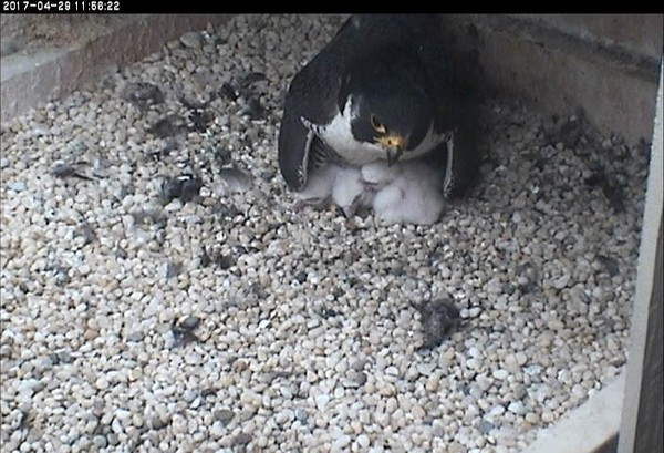 Hope sheltering three nestlings, 29 April 2017, 11:55a (photo from the National Aviary snapshot camera at Univ of Pittsburgh)