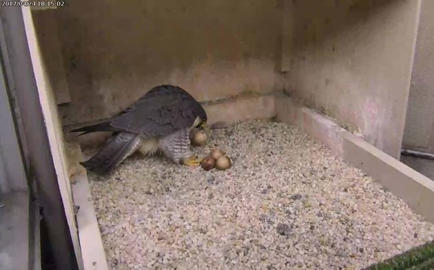 Hope picks up her first-hatching egg. Latr she kills and eats it (photo from the National Aviary falconcam at Univ of Pittsburgh)