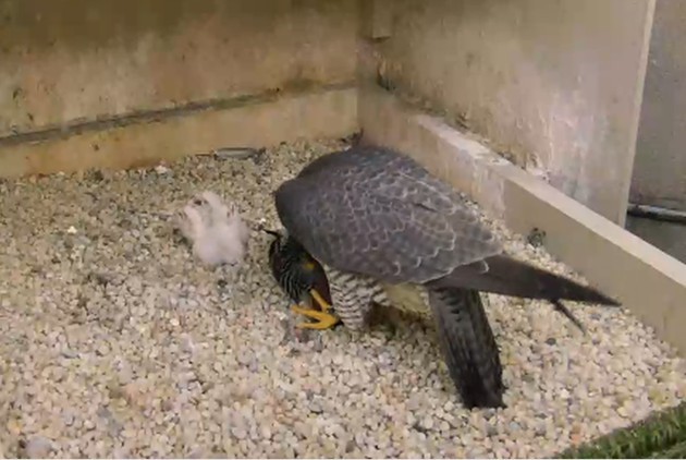 Hope prepares to feed 3 nestlings at the Cathedral of Learning, 27 Apr 2017, 7:56a (photo from the National Aviary falconcam at Univ of Pittsburgh)