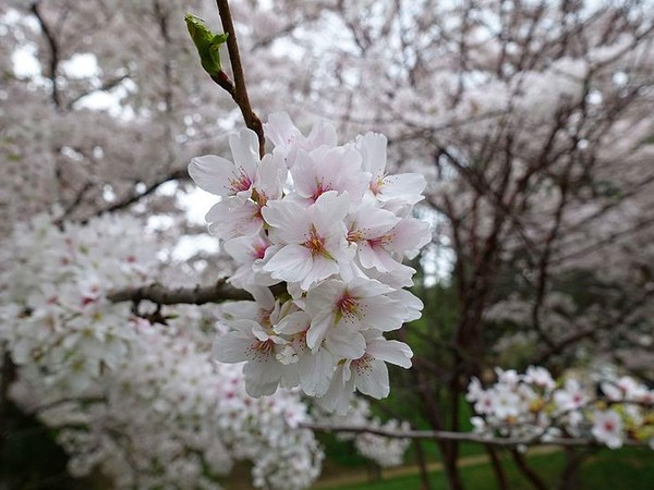 Blooming cherry trees, Paris (photo from Wikimedia Commons)