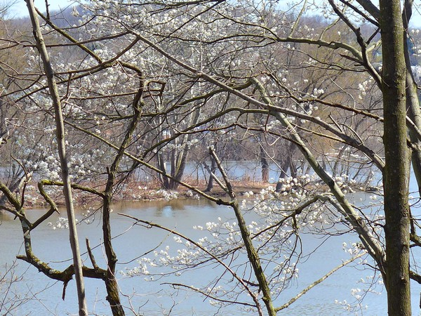 Shadbush at the Allegheny River, also called Downy serviceberry, 9 Apr 2017 (photo by Kate St. John)