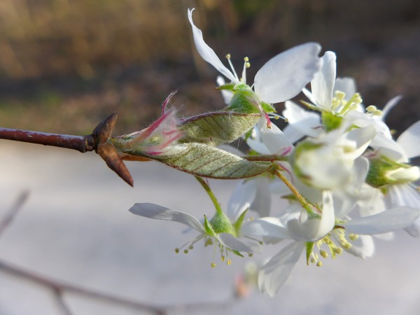 Serviceberry flowers and new leaves, closeup at Schenley Park, 10 Apr 2017 (photo by Kate St.John)