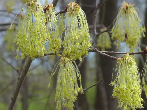 Sugar maple flowers, 15 April 2017, Schenley Park (photo by Kate St. John)