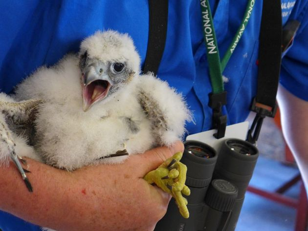 Female peregrine chick, C6, shouts during Banding Day (photo by Kate St. John)