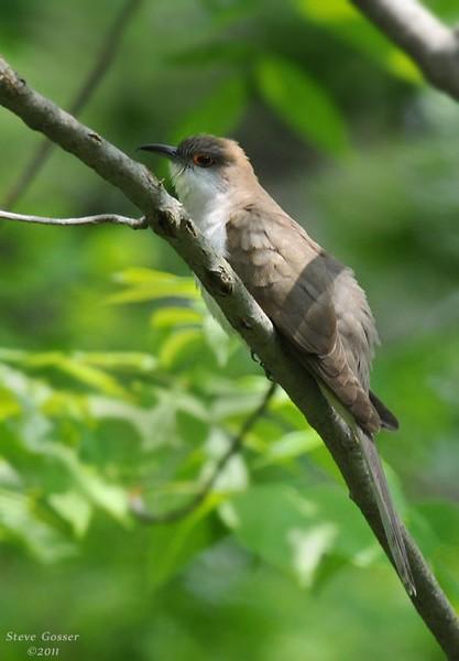 Black-billed cuckoo (photo by Steve Gosser)