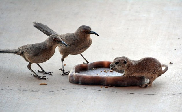 Curve-billed thrashers and round-tailed ground squirrel eating mealworms, Tucson, Arizona (photo by Donna Memon)