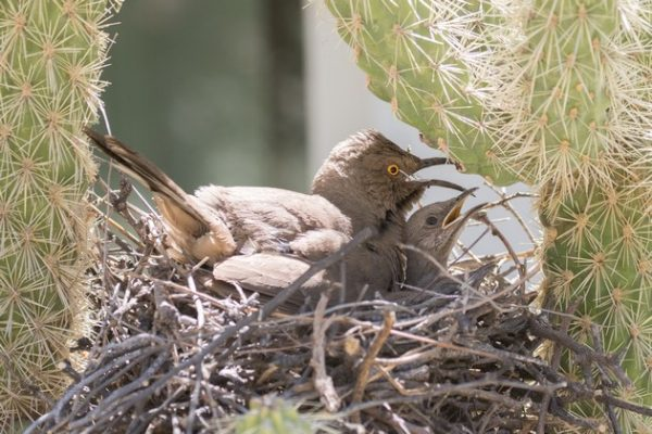 Curve-billed thrasher and chick pant in the hot nest (photo by Steve Valasek)