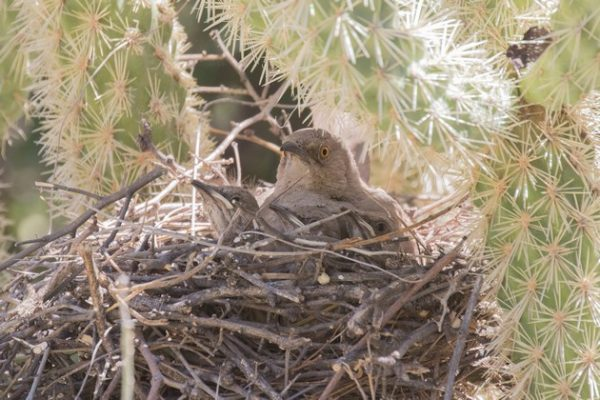 Curve-billed thrasher nest in cholla cactus (photo by Steve Valasek)