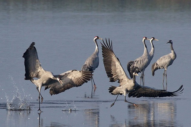 Common cranes, Grus grus (photo from Wikimedia Commons)