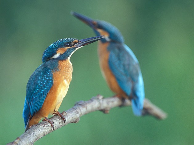 Two common kingfishers, Alcedo atthis (photo by Lukasz Lukasik via Wikimedia Commons)