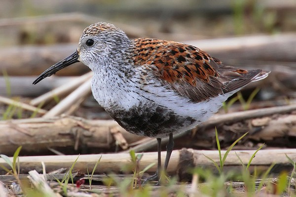 Dunlin in breeding plumage (photo from Wikimedia Commons)