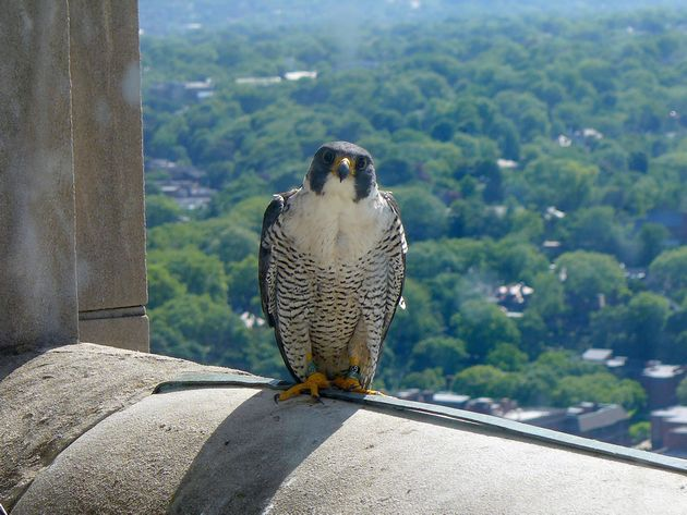 The mother peregrine, Hope, knows something is going to happen (photo by Kate St. John)