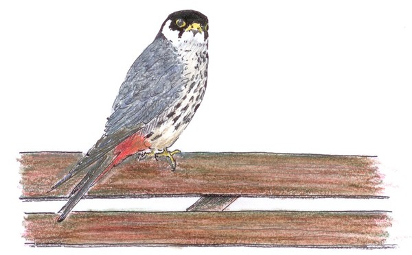 European hobby (drawing by Jos Zwarts via Wikimedia Commons)