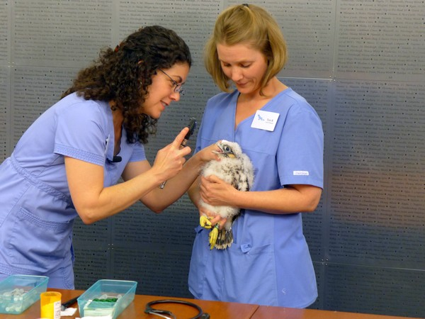 Dr. Pilar Fish and Teri from the National Aviary check the health of each chick (photo by Kate St. John)