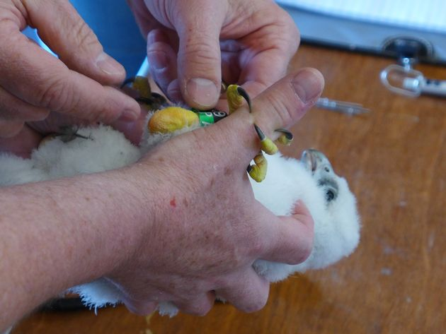 Ow! C6 grabs the bander's finger with his talons (photo by Kate St. John)
