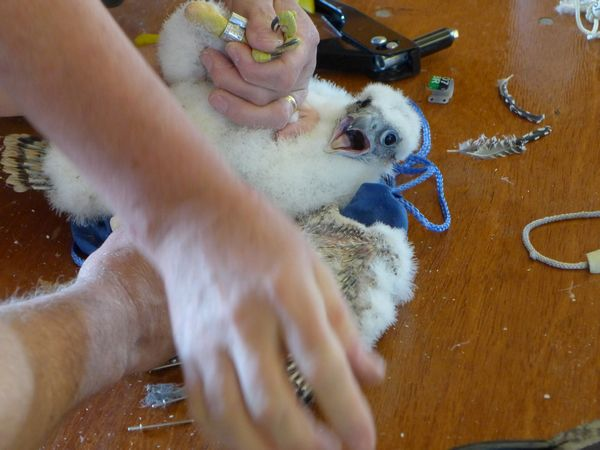 Female chick, C7, shouts during the banding (photo by Kate St. John)