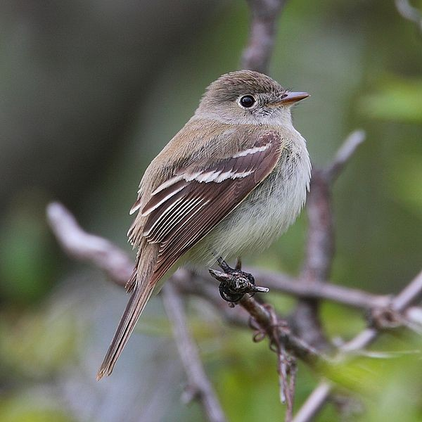 Least flycatcher, near Point Pelee, Ontario (photo from Wikimedia Commons)