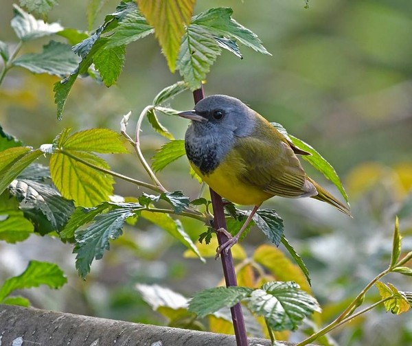Mourning warbler, Forest County, PA, 13 May 2017 (photo by Anthony Bruno)