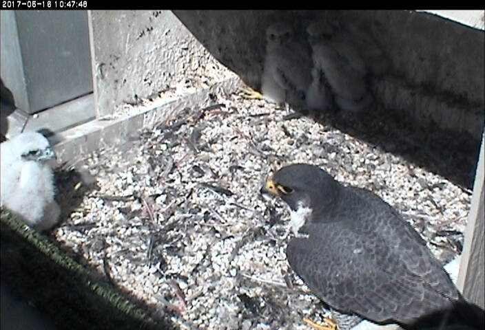After the banding, Hope checks on the chicks (photo from the National Aviary falconcam at Univ of Pittsburgh)
