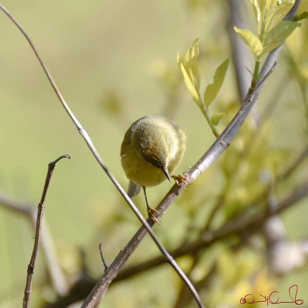 Orange crown on orange-crowned warbler (photo by David Amamoto)