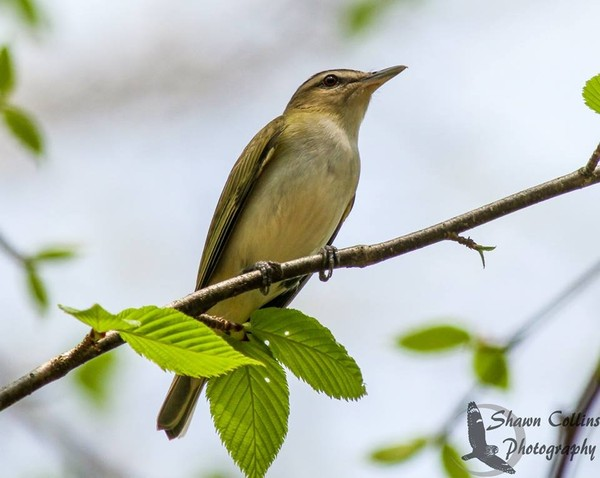 Red-eyed vireo (photo by Shawn Collins)