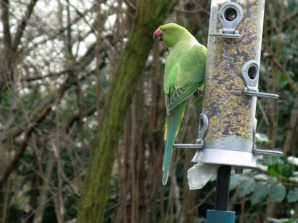 Rose-ringed parakeet, Kensington Gardens, London (photo by Tony Austin via Wikimedia Commons)