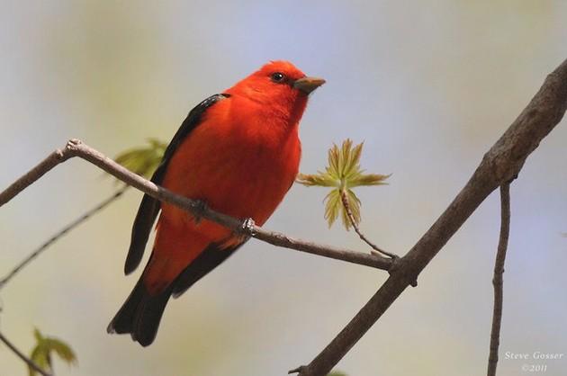 Scarlet tanager, 2011 (photo by Steve Gosser)