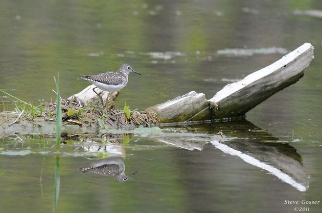 Solitary sandpiper, May 2011 (photo by Steve Gosser)
