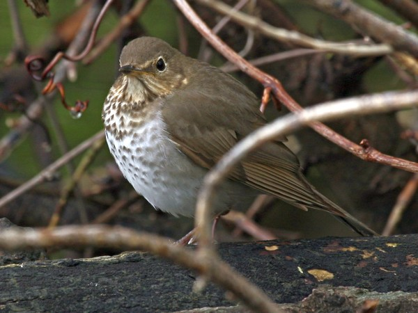 Swainson's Thrush (photo by Chuck Tague)