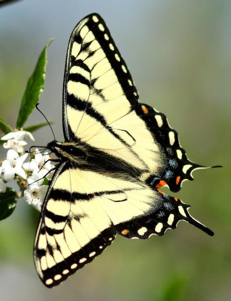 Tiger swallowtail (photo by Marcy Cunkelman)