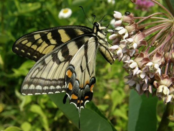 Eastern tiger swallowtail (photo by Marcy Cunkelman)
